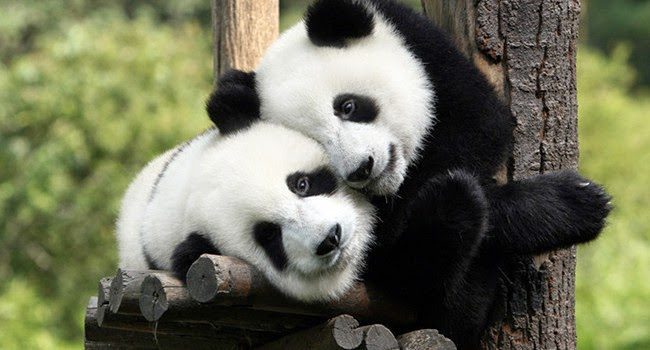 One month free entry to see the pandas at Zoo Negara